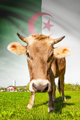Cow with flag on background series - Algeria