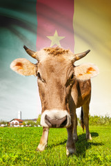 Cow with flag on background series - Cameroon