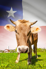 Cow with flag on background series - Chile