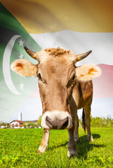 Cow with flag on background series - Comoros