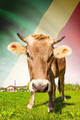 Cow with flag series - Republic of the Congo - Congo-Brazzaville