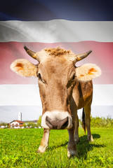 Cow with flag on background series - Costa Rica