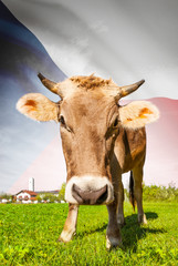 Cow with flag on background series - Czech Republic