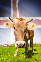 Cow with flag on background series - Iceland