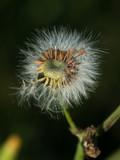 Fleur de pissenlit - 71562709