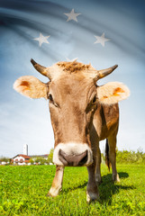 Cow with flag series - Federated States of Micronesia