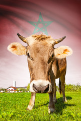 Cow with flag on background series - Morocco