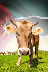 Cow with flag on background series - Mozambique