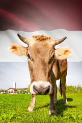 Cow with flag on background series - Netherlands