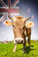 Cow with flag on background series - New Zealand