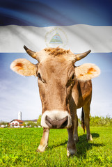 Cow with flag on background series - Nicaragua