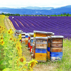lavander fields and beehive in Provence, France