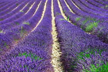 violet rows of blooming lavander in Provence, France