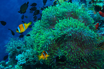 Colorful orange striped tropical fish