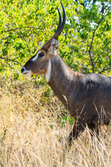 Close up defassa waterbuck