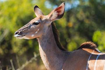 Greater kudu close up in Chobe Botswana Africa