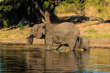 Mother and baby elephant drinking river Chobe