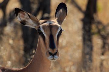 Close up head black-faced impala in Namibia