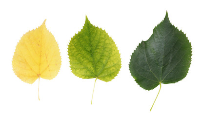 Autumn yellow and green leaves isolated on white