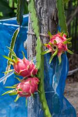 dragon fruit on garden
