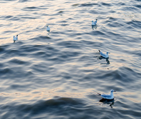 Seagull is a bird migration to samuthprakharn, Thailand