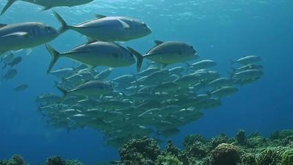 Bigeye trevallies on a coral reef