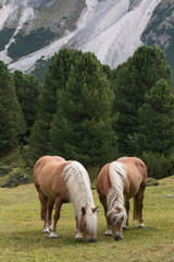 pair of chestnut horses grazing on alpine meadow