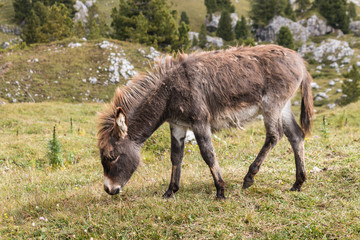 young donkey grazing on alpine meadow