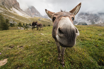 curious donkey in Dolomites
