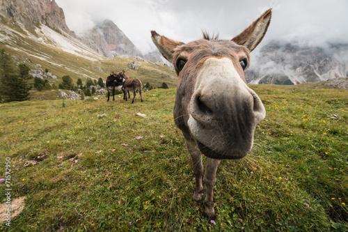 Aluminium Ezel curious donkey in Dolomites