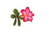 Closeup of Pink Desert Rose or Impala Lily tropical flower on wh