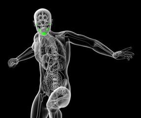3d render medical illustration of the human jaw bone