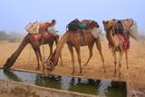 Camels drinking from reservoir in a morning fog during camel saf poster
