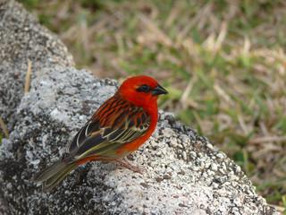 Cardinal, oiseau endémique de Madagascar, la Réunion