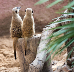 Two meerkat  sitting togehter