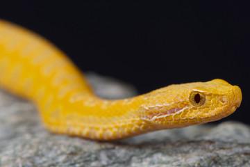Asp viper,albino / Vipera aspis