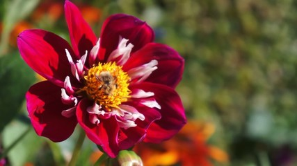 A honey bee collecting pollen from a red Dahlia flower