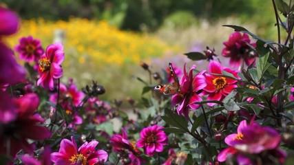 Schmetterling im Sommergarten