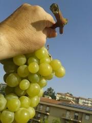Uva bianca di Sicilia