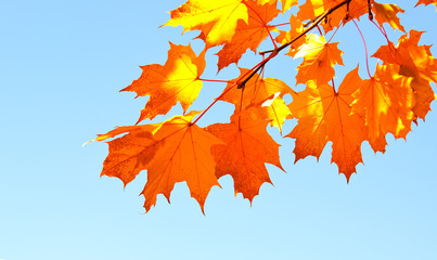 Autumn maple leaves and  blue sky background