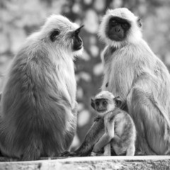 Gray langurs with babies sitting at the temple, India. Black and
