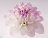 White dahlia background