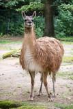 One Guanako (Lama guanicoe)