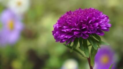 Dahlie Blume im Wind