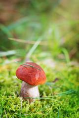 aspen mushroom or orange-cap boletus in the autumn forest moss