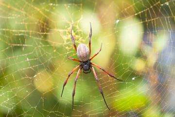 Araignée néphile Nephila inaurata ardentipes, Rodrigues