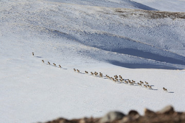 A flock of sheep (argali Marco Polo) migrates in the Tien Shan