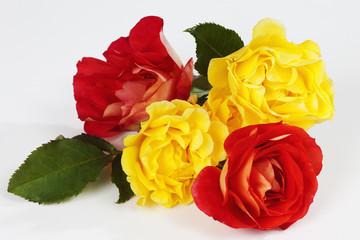 Rote und gelbe Rosen (Rosa), weisser Hintergrund