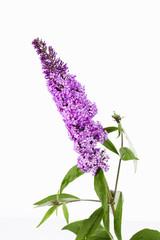 Violetter Sommerflieder (Buddleja)