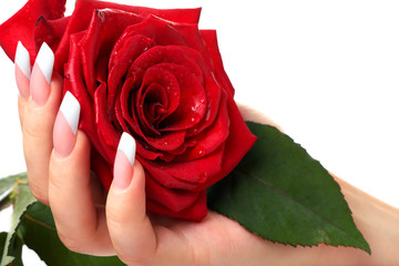Woman's hand holding red rose.